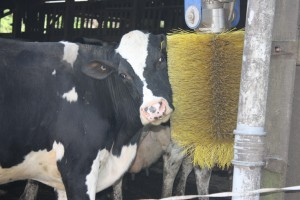 Rotating Cow Brush