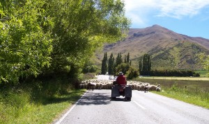 Sheep drive up the road