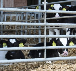Calves lying down in the shed