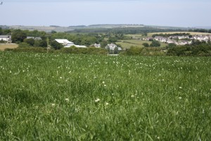 Clover rich pastures