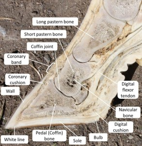 Cow Foot Cross Section Labelled