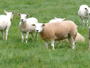 sheep_diseases_img