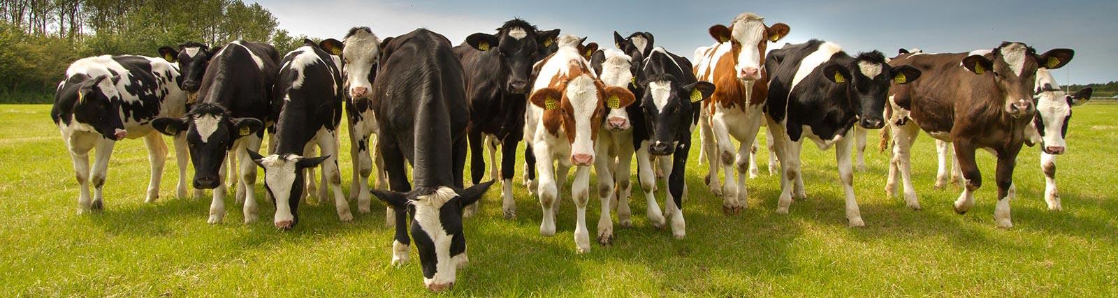 OV_Cows