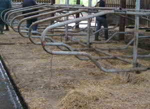 Cubicle surface can effect lameness. They are particularly suited to female cows.