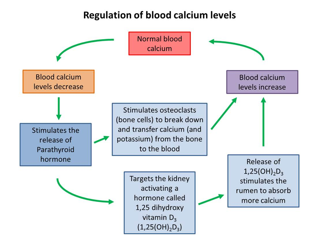 Blood calcium regulation