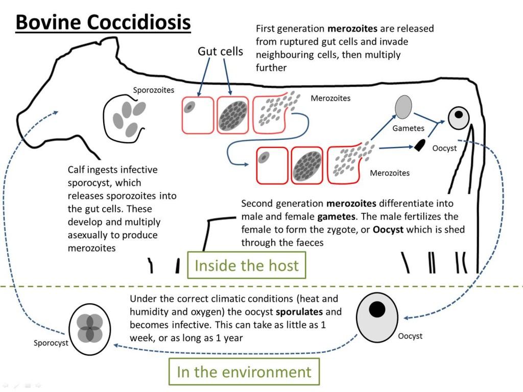 Bovine coccidiosis life cycle