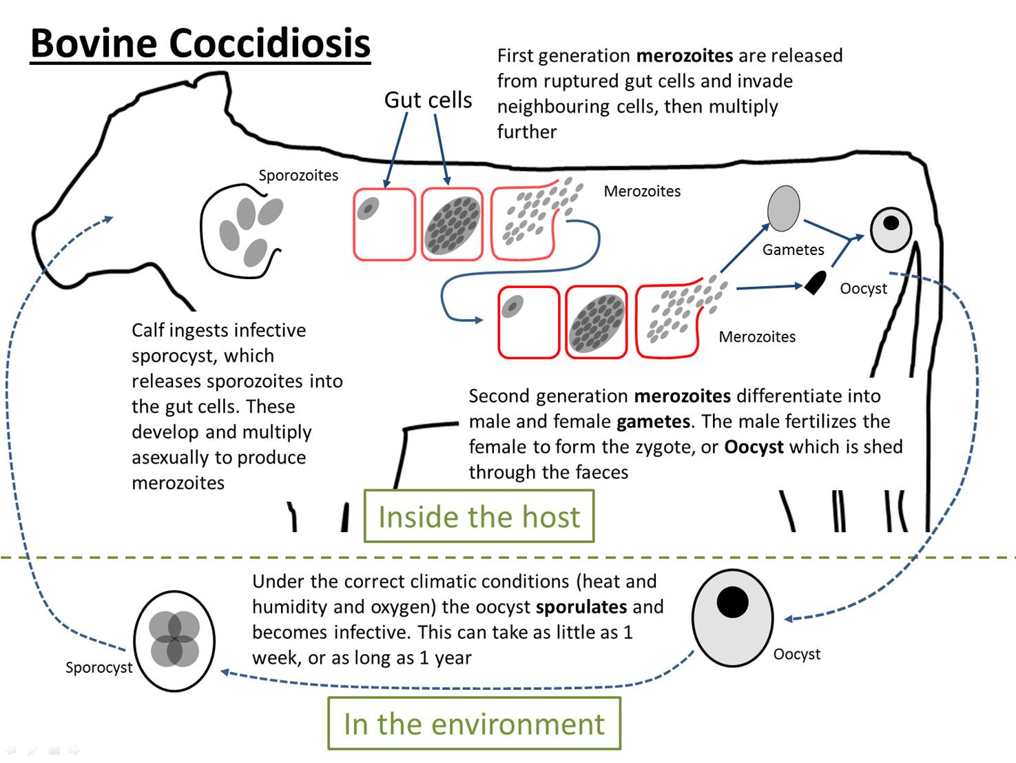 Farm health online animal health and welfare knowledge hub bovine coccidiosis life cycle pooptronica Image collections