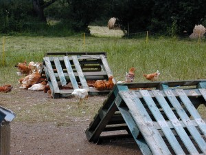 Pallets make a good shelter for chickens