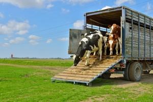 Cattle Transport
