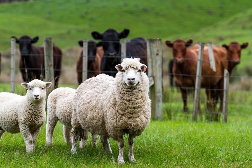 Farm Health Online – Animal Health and Welfare Knowledge Hub – Liver