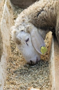 Sheep eating concentrate