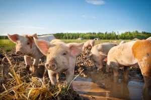 Piglets in mud
