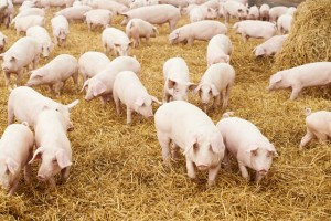 Pigs and straw