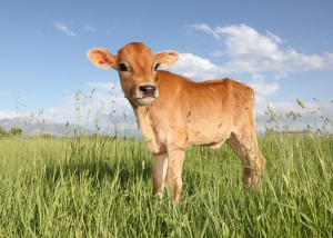 Jersey calf standing in grass