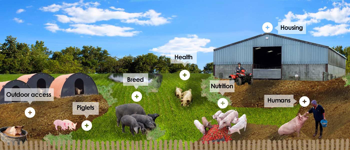 Farm - Pigs