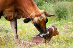 Cows spend time licking calves after birth