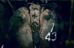 Sarcoptic mange - dermatitis on tail head