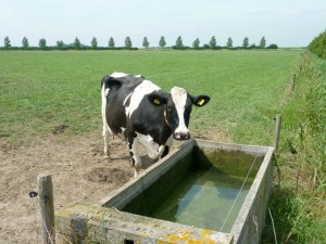 Cow at a concrete water trough