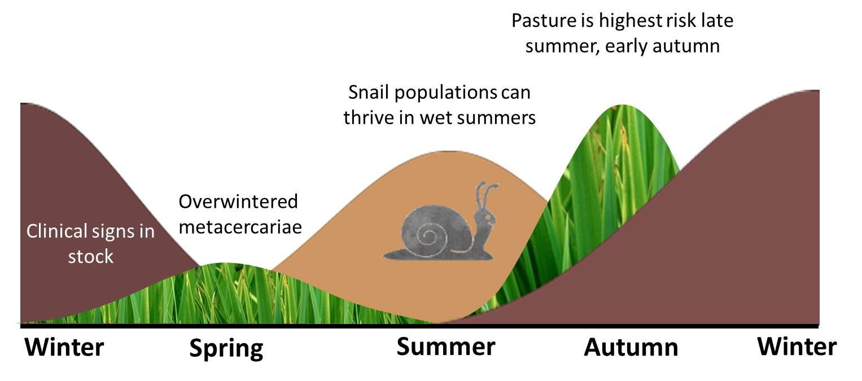 liver fluke summer infection of snails