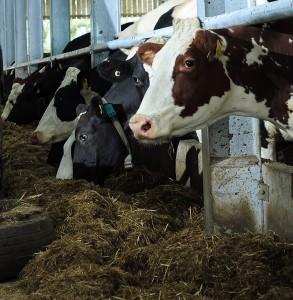 Cows being fed TMR sm