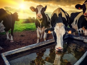 Cows drinking from water trough