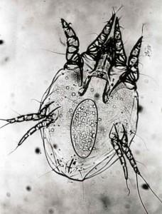 Female Psoroptes ovis mite