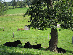 All cattle should not only have access to grazing and exercise areas but should also be provided with adequate shade and shelter to protect them from climatic extremes. On many farms, this is provided by natural vegetation but in certain situations it may be necessary to provide either temporary or permanent structures.