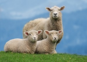Ewes play a significant role in pasture contamination around lambing time due to a phenomena called Peri-Parturient Rise (PPR)