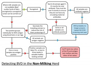 Detecting BVD in a non-milking herd
