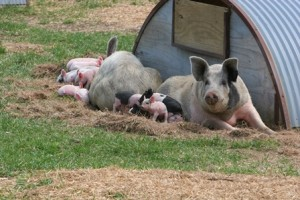 Sows outdoors with piglets