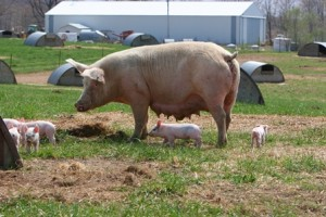 freerange sow and piglets