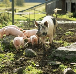 outdoor sow and piglets