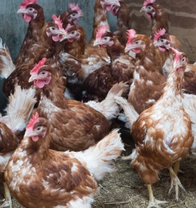 The use of antibiotics to promote growth, increase feed efficiency and reduce mortality in indoor poultry farming is unsustainable, and has been implicated in the increase in anti-biotic resistance in humans.