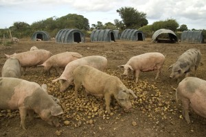 large outdoor pig unit