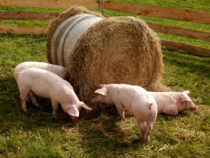 pigs and straw bale