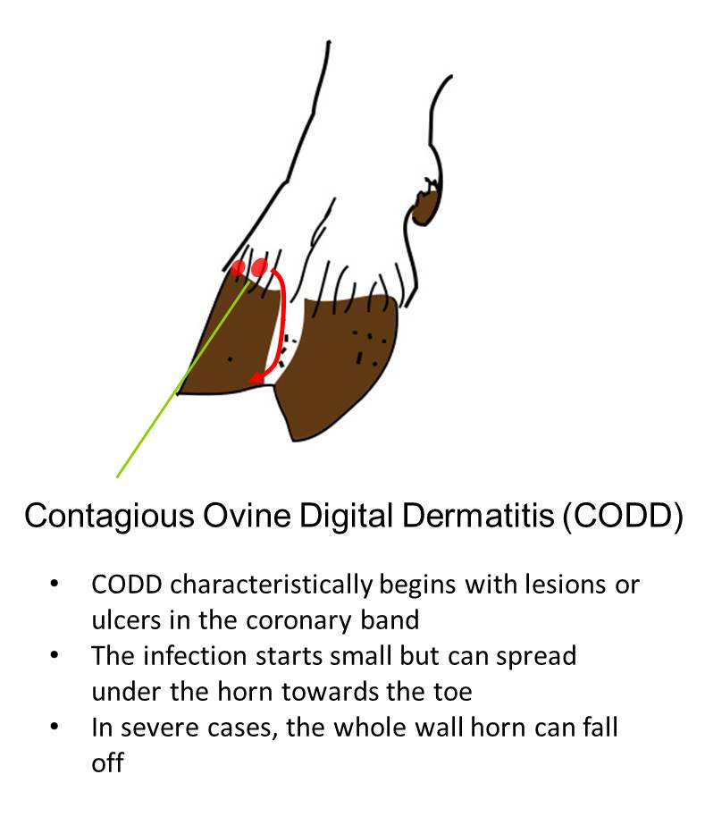 Sheep Lameness - CODD