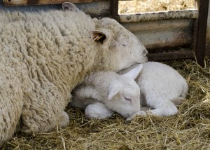Lamb and ewe asleep