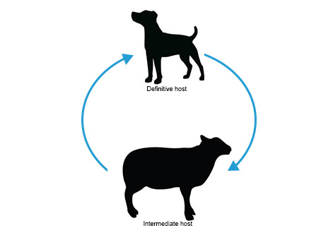 Sheep-dog-life-cycle