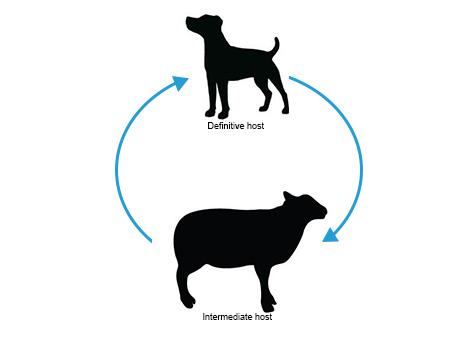 Sheep Dog Life Cycle