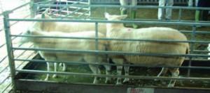 Sheep in footbath from Eblex BRP Sheep Man 7