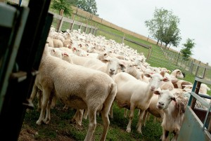 clover creek ewes