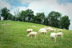 clover creek grazing sheep credit mike suarex