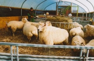 sheep-in-pen