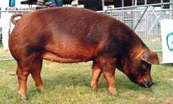 The Duroc (from www.thepigsite.com)