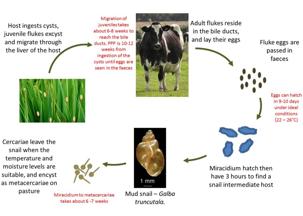 Life Fluke Life Cycle in Cattle