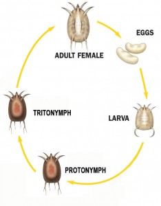 parasitic mite life cycle