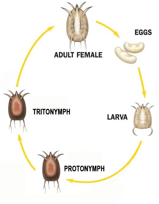 bird mites life cycle