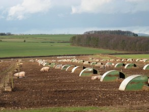 Typical image of outdoor commercial pig farm with the potential for integrating into an arable crop rotation (www.fawleyfarms.co.uk)