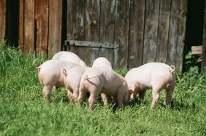 Piglets grazing