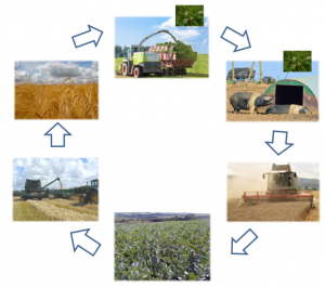 In this crop rotation example, pigs are kept on the second year of a grass-clover pasture, followed by a cereal crop (winter wheat), a legume crop such as beans, two cereal crops (e.g. winter triticale followed by spring barley) before returning in the fifth year to a grass-clover pasture used for silage production and grazing by cattle or sheep